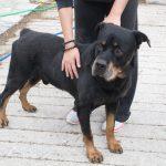 jason adopt a Rottweiler