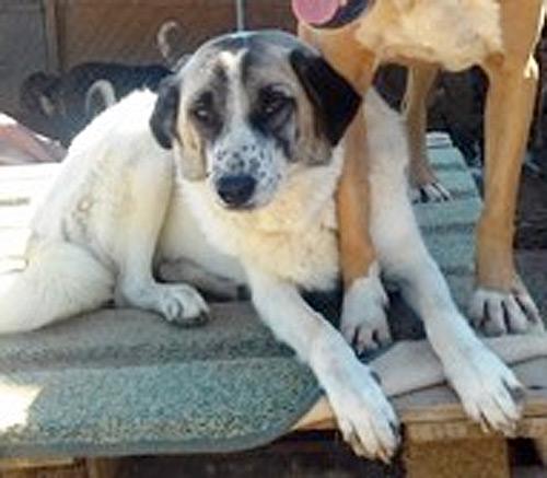 kafouisna Greek stray dog for adoption