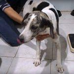 petalouda dog available for adoption
